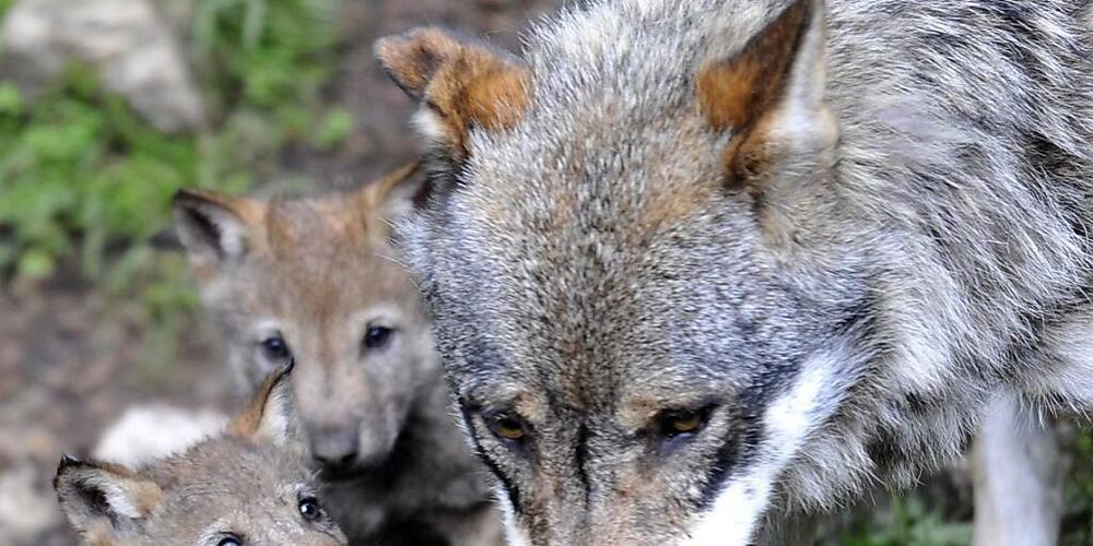 22 Wölfe sind im Wallis unterwegs