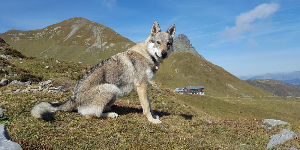 In Uetliburg wurde ein Schafsbock gerissen – es ist wieder ein Wolf.