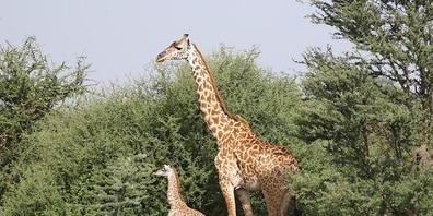 Anders als Männchen verlassen Giraffenweibchen nur selten die soziale Gemeinschaft, in die sie hineingeboren wurden. Denn bei der Aufzucht ihrer Jungen sind sie auf vertraute Territorien und die Hilfe vertrauter Artgenossen angewiesen.