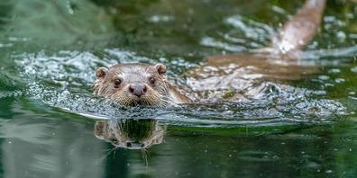 Das zehnjährige Fischotter-Männchen im Natur- und Tierpark Goldau kann die Luft bis zu sieben Minuten anhalten.