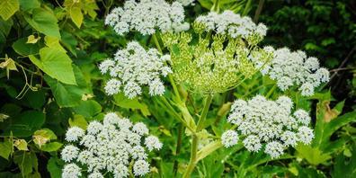 Invasive Pflanzenarten verdrängen die einheimischen. Auf dem Foto: Mahonien.