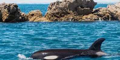 Das am Freitag verstorbene Orca-Baby Toa (Bild) war nicht das erste Tier, das Neuseeland in Atem hielt. Vor ihm hatten es schon ein anderer Orca-Säugling - Bob - sowie der Otter Jin und das Schaf Shrek  zu nationaler Berühmtheit gebracht. (Presseb...