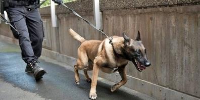 Ein Polizeihund griff ein Büsi an, anstatt den Einbrecher zu verfolgen. (Symbolbild)