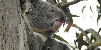 A supplied image obtained on Monday, September 20, 2021, of The seven-month-old joey, Dobby, with his mum, Shontana. A koala joey was reunited with his mum after he fell from a tree while his mum was getting some unwanted attention from a male koa...