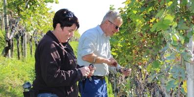 Ernte im Ortsgemeinde- Rebberg: Peter Keel und Daniela Sieber beim Wimmen am Forst. Ihre Sorgfalt trägt zur Qualität des Forstweins 2021 bei. Trockene und faule Beeren werden ausgeschnitten.