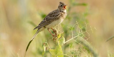 Früher typische, häufige Kulturlandvögel wie beispielsweise die Feldlerche, sind heute weitgehend verschwunden.