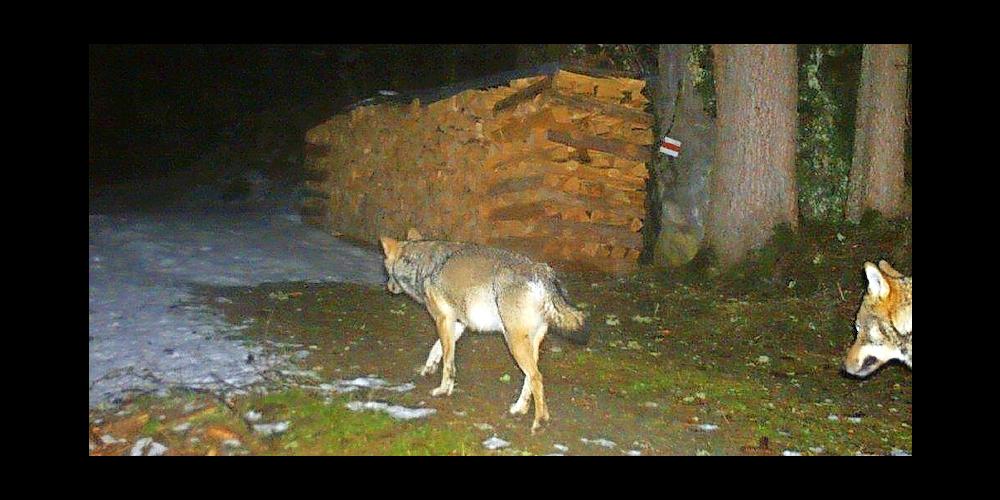 Es gibt deutliche Hinweise auf zweites Glarner Wolfsrudel