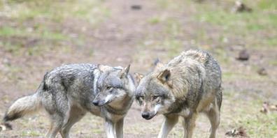 Der Kanton Graubünden will nach Möglichkeit mehrere Wölfe schiessen. Die Voraussetzungen dafür sollen bereits weitgehend erfüllt sein. (Symbolbild)