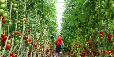 Das Jordanvirus hat die Tomatenpflanzen auf einem Landwirtschaftsbetrieb im Kanton Thurgau befallen. (Symbolbild)