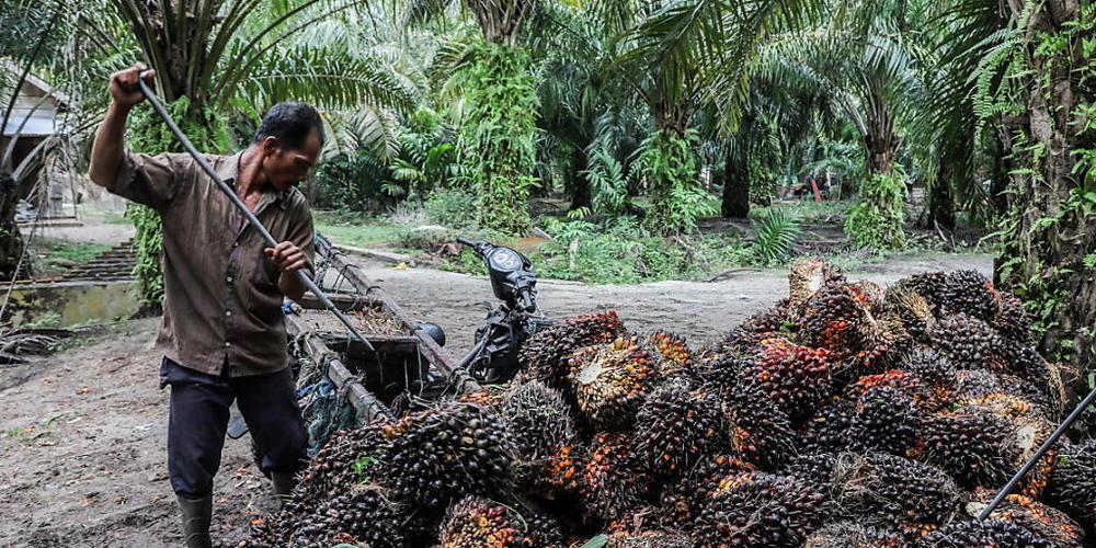 Indien will die Produktion von Palmöl massiv ausbauen. Das stösst bei Umweltverbänden auf harsche Kritik. (Archivbild)