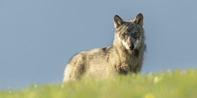 Jungwolf am Calanda.