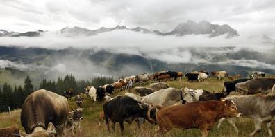 Wer Rinder oder andere Nutztiere züchtet, soll nicht strengeren Regeln unterstellt werden. Dieser Meinung ist die Wirtschaftskommission des Nationalrats. (Archivbild)