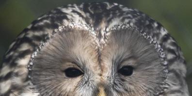 Dieses fünf Monate alte Männchen aus dem Tierpark Goldau leistet Habichtskauz-Dame Rosalie im Zoo Zürich neu Gesellschaft. Bestenfalls kommt es nächstes Jahr zu Nachwuchs.