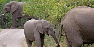 Aufgebrachte Elefanten haben im Krüger-Nationalpark einen Wilderer zu Tode getrampelt. (Archivbild)