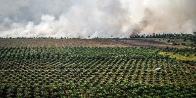 Palmölplantagen schränken den Lebensraum von Orang-Utans, Tigern und Elefanten immer mehr ein.