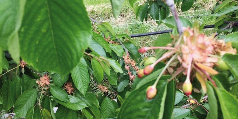 Schwach entwickelte und unbefruchtete Kirschen, die der Baum abstösst.