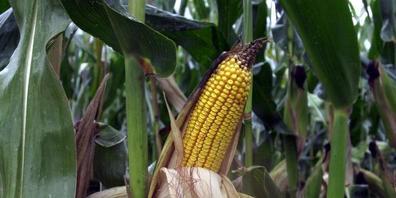 Die Larven des Maiswurzelbohrers schlüpfen jeweils im Frühjahr und fressen die Wurzeln der Maispflanzen. (Archivbild)