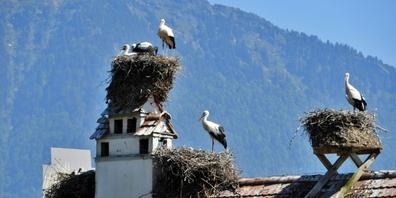 Seit 1965 wurde der Storch zu einem Wahrzeichen von Uznach.
