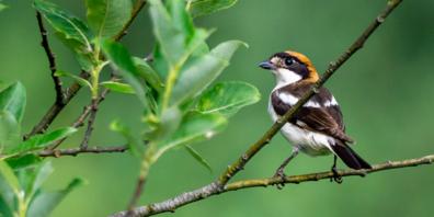 Rotkopfwürger im Naturschutzgebiet Spitzmäder. Von solchen Ansitzen und Aussichtspunkten jagt er Grossinsekten