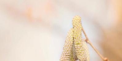 Die derzeit milden Temperaturen haben die Haselkätzchen spriessen lassen. Diese entlassen ihre Pollen in rauen Mengen in die Luft – zum Leidwesen der Allergiker. (Bild: Keystone)