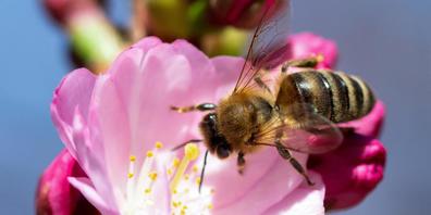 Australien importiert europäische Bienenköniginnen, weil sie resistent sind gegen bestimmte Milben. Wegen der Pandemie und den damit verbundenen Verzögerungen bei der Post kommen die Bienen tot oder geschwächt an - das gefährdet die Bienenzucht un...