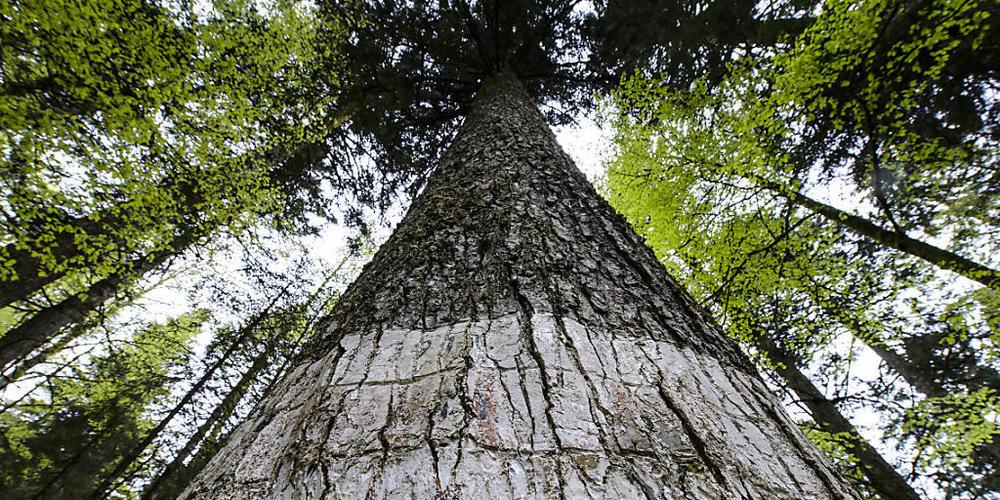 Bäume wachsen vor allem in der Nacht, wenn die Luft nicht so trocken ist wie am Tag. (Archivbild)