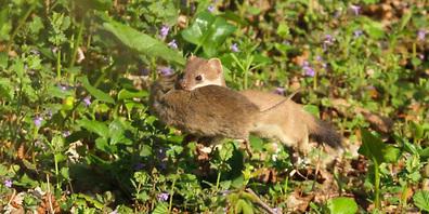 Das Hermelin gehört zu den kleinsten einheimischen Raubtieren und ernährt sich von Wühlmäusen