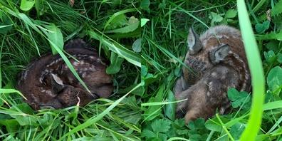 Rehkitze verstecken sich oft im hohen Gras und laufen so Gefahr, dem Mähwerk der Bauern zum Opfer zu fallen.