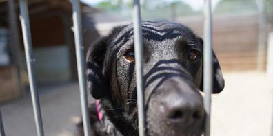 dpatopbilder - ARCHIV - Ein Hund schaut aus seinem Gehege im Tierheim Hamburg. Die BBC berichtete am Samstag, dass viele Briten, die sich im Corona-Lockdown einen Hund zugelegt haben, diesen wieder bei Tierheimen abgegeben. «Es sind definitiv beis...