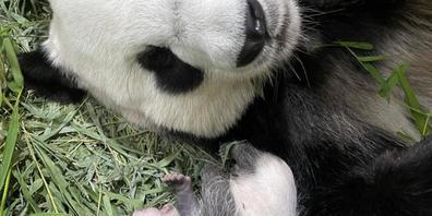 Singpurs erstes Riesenpanda-Baby - hier mit seiner Mama Jia Jia Anfang September. Inzwischen hat das noch namenlose Männchen seine Augen geöffnet - ein Meilenstein, wie sein Refugium, der River Safari Park stolz mitteilt (Pressebild).