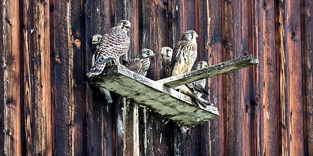 Die Turmfalken-Familie beim Einflugloch am Stall.