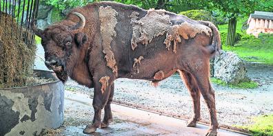 Für eine kleine Sensation sorgt Stier Wumbro. Mit bald 22 Jahren ist er der älteste Zuchtbulle im europäischen Zuchtprogramm.