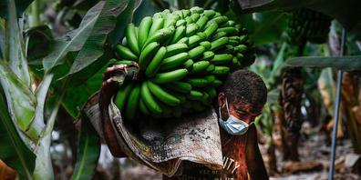 ARCHIV - Ein mit Vulkanasche bedeckter Bauer trägt ein Bündel Bananen, bevor die Lava des Vulkans Cumbre Vieja die Plantage erreicht. Foto: Kike Rincón/EUROPA PRESS/dpa