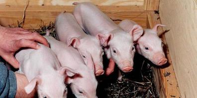 In New York ist eine halbwegs erfolgreiche Transplantation einer Schweineniere in einen Menschen gelungen. Schweine gelten als vielversprechendste Organspender für Menschen. Im Bild die Ferkel Millie, Christa, Alexis, Carrel und Dotcom, die 2000 s...