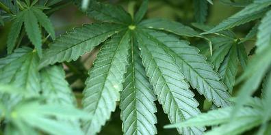 ARCHIV - In Italien könnte schon im nächsten Jahr über die Legalisierung des Anbaus von Cannabis abgestimmt werden. (Symbolbild) Foto: Oliver Berg/dpa