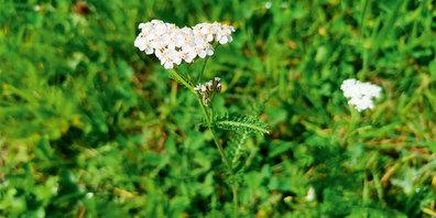 Die dichten, weissen «Blütenköpfchen» sind ein eindeutiges Merkmal der Schafgarbe.