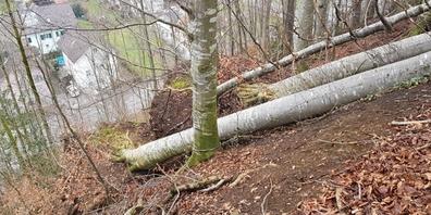 Teile des Starrbergtöbeliwaldes leiden zunehmend unter Stress. Entwurzelte Bäume sind eine Folge davon.