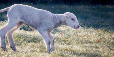 Weidetiere wie Schafe, Pferde und Rinder fördern die Käfervielfalt, wie aus einer Untersuchung im Nordschwarzwald hervorging. (Themenbild)