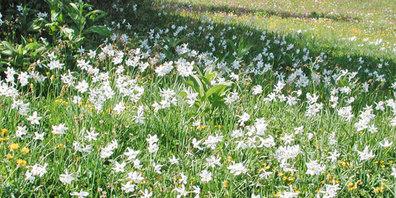 In Seewis blühen wieder die Narzissen.