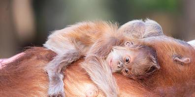 HANDOUT - Auf dem Bauch trägt Orang-Utan-Mutter Tana ihren Nachwuchs. Foto: Michal Levy/Yam Siton/dpa - ACHTUNG: Nur zur redaktionellen Verwendung im Zusammenhang mit der aktuellen Berichterstattung und nur mit vollständiger Nennung des vorstehend...