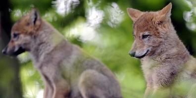 In diesem Jahr hat ein zweites Wolfspaar im Kanton Waadt Nachwuchs gezeugt. Somit streifen zwei Wolfsrudel im Waadtländer Jura umher. Im Bild Jungwölfe in einem Zoo. (Symbolbild)