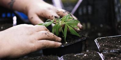 Der Anbau und der Handel von Cannabis sollen reguliert werden. Dieser Meinung sind beide Parlamentskommissionen. Nun beginnen die konkreten Gesetzesarbeiten. (Themenbild)