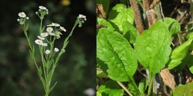 Der hohe Blütenstand mit mehreren Blüten zeigt, dass es sich nicht um ein Gänseblümchen handelt, sondern um das Einjährige Berufkraut.