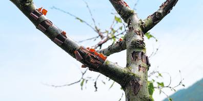 Besonders die jungen Bäume haben gelitten, bei ihnen ist noch nicht klar, ob sie sich  vom Hagel erholen werden.