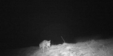 Mit einer Fotofalle ist auf der Kleinen Schwägalp AR ein Wolf ertappt worden.