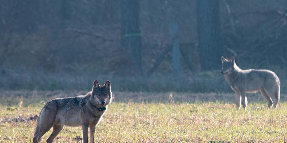 Das Bund hat ein Abschussgesuch für zwei Jungwölfe im Bündner Oberland abgelehnt, da die von ihnen und ihrem Rudel verursachten Schäden nicht gross genug waren. (Symbolbild)