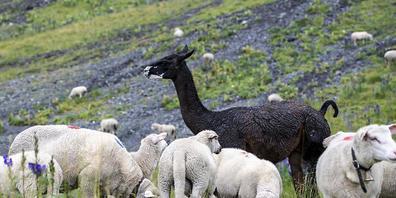 Ein Lama bewacht eine Schafherde im Kanton Uri: Ein Jäger im Muotathal verwechselte ein Lama mit einem Hirsch und erschoss das Schutztier versehentlich. Er ist sein Jagdpatent los. (Themenbild)