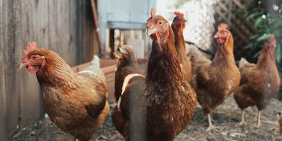 Bisher blieb das Schaffhauser Geflügel von der Vogelgrippe verschont. Der Kanton ruft die Halter aber dazu auf, die Tiere genau zu beobachten. Zudem dürfe keinesfalls Geflügel aus Deutschland importiert werden. (Symbolbild)