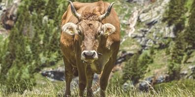 Eine Kuh auf einer Alpweide. (Symbolbild)
