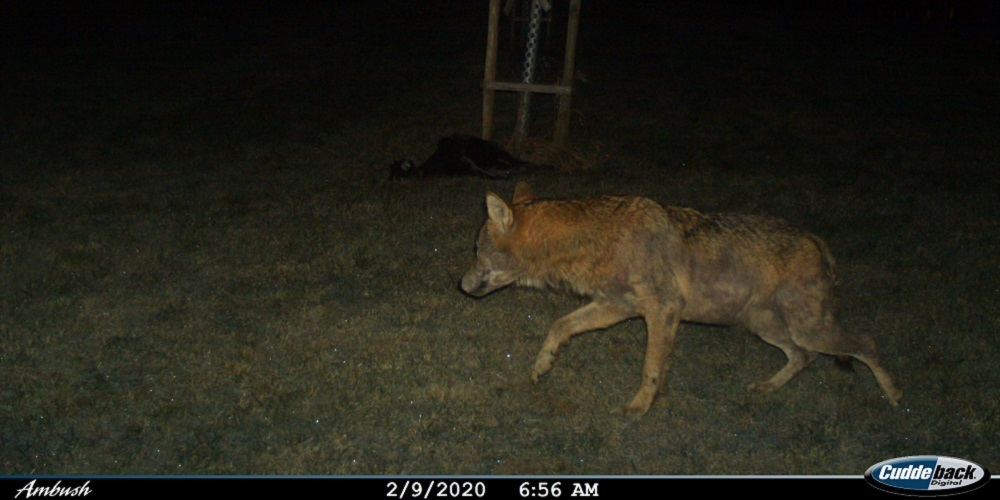 Der Wolf wird auch im Toggenburg immer mehr zum Problem.